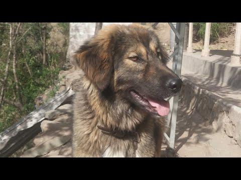 Aggressive 9 Month Old Bakarwal Dog | Bakarwal Dog Barking | Gaddi Dog Barking