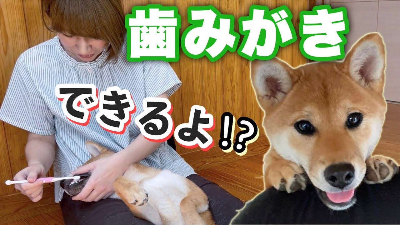 【神回♪】6ヶ月の柴犬に『歯磨きがおりこうになる魔法』をかけてみた
