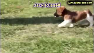 Jack Russell, Puppies, For, Sale, In, Jacksonville,florida, Fl,tallahassee,gainesville,
