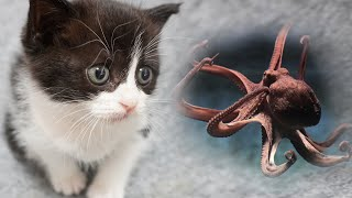 (ENG SUB) Baby cat eats octopus!! | CatOutdoor