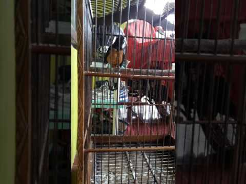 Burung murai batu betina gacor