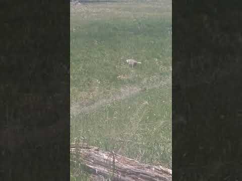 Coyote at Yellowstone hunting