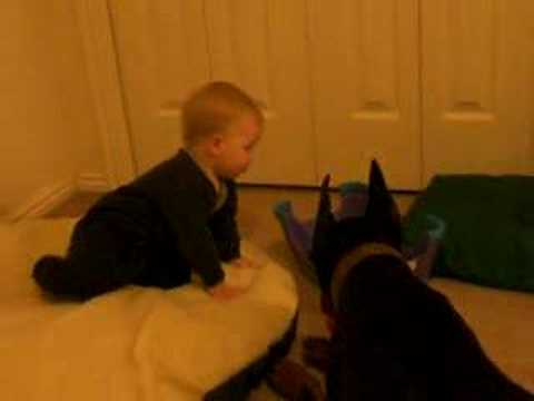 One year old plays ball with Doberman