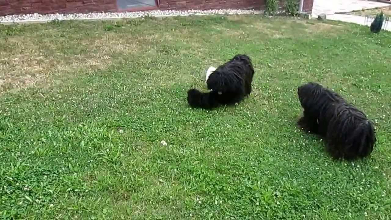 Puli Puppies Playing Youtube