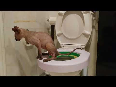 Sphynx cat using toilet / DonSphynx