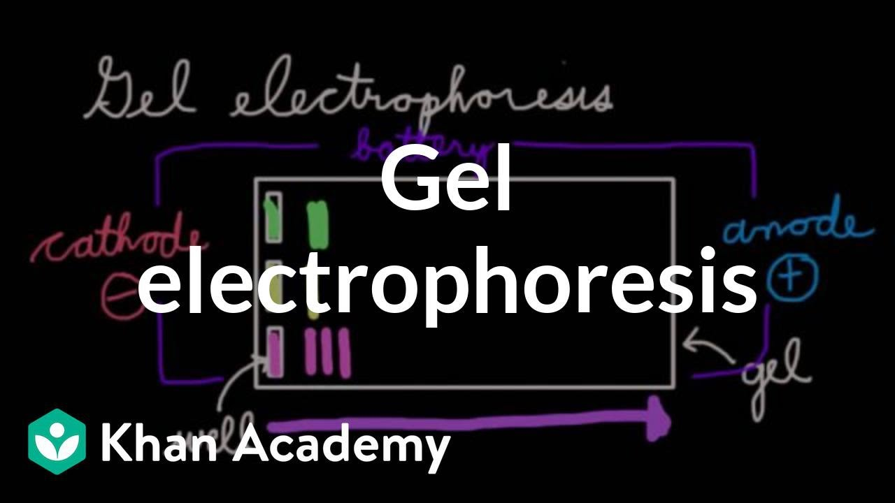 introductory gel electrophoresis essay Micro-environment essay b  a, 2008 thinking about biology: an introductory laboratory  and analysing your sample using agarose gel electrophoresis.