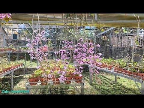 Mùa Dịch Ngắm Hoa Phong Lan Nở Tại Vườn Lan Rừng TV Online   Lan Rừng TV   Foci