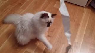 Birman kittens vs IKEA tape measure    Odin & Embla the Birman kittens