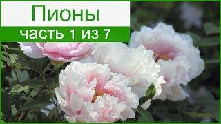 🌸 Пионы травянистые – описание