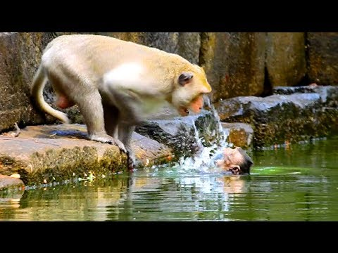 Why monkey angry baby into water like this?Monkey try to fighting , Why monkey argue ?