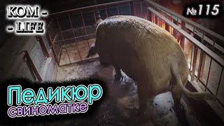 видео: Возил свинью на педикюр