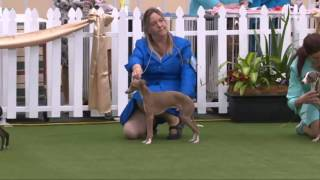 2016 Royal Adelaide Show - Dog Judging Tuesday 6 September