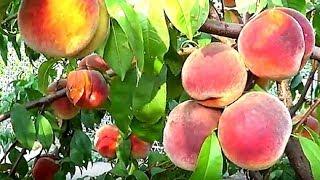 Персик из косточки. Как вырастить персиковое дерево из косточки.