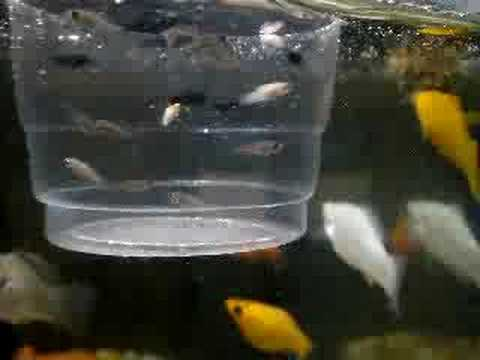 Black and silver baby Mollies fish :- Dilip Mohol - YouTube