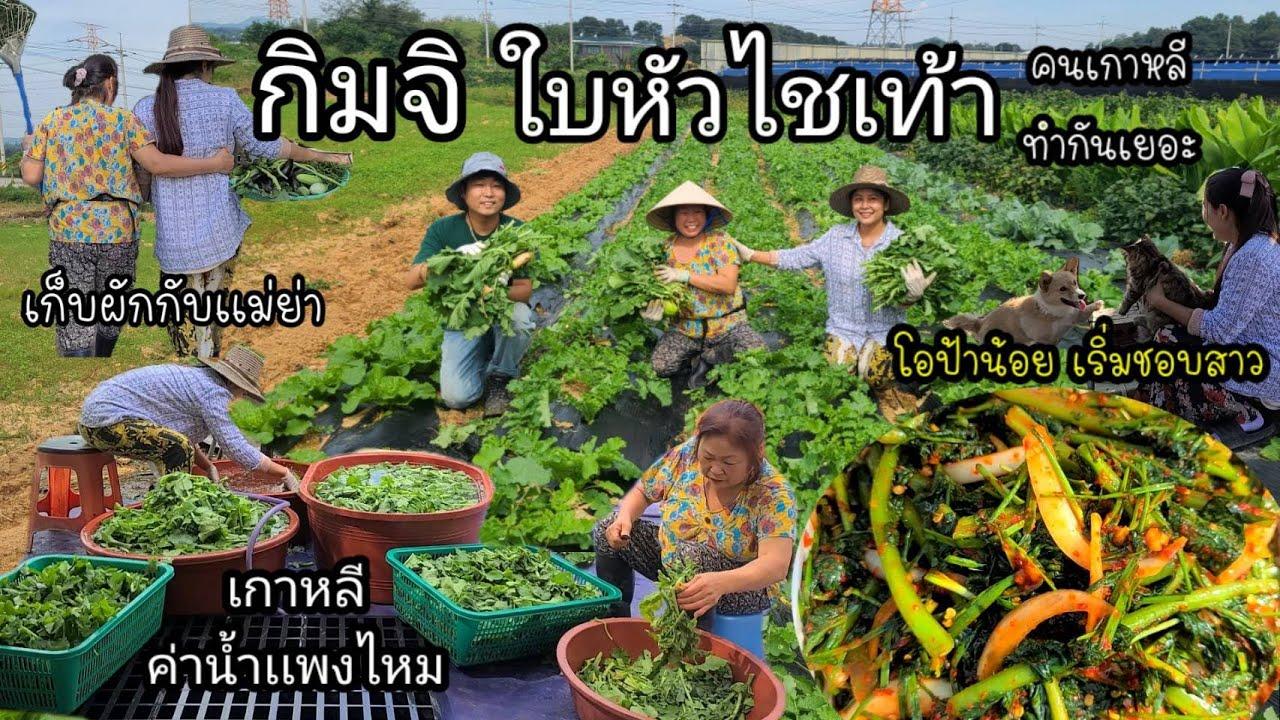 EP.411 วันนี้ทำกิมจิใบหัวไชเท้า สวนผักใหญ่ยาว เก็บผักกับที่บ้านเพลินจ้า อากาศดีมากๆ