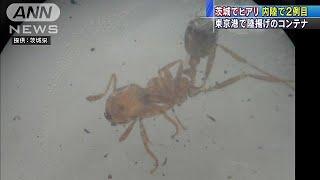 茨城・常陸太田市のコンテナでヒアリ 国内8例目(17/07/17) thumbnail