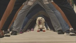 Bulldog skateboards through legs of 30 people on Guinness World Record day