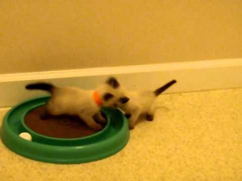 Wrestle Mania- siamese kittens playing- cute funny cat video