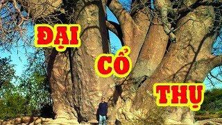 Chiêm ngưỡng 10 loại cây đại cổ thụ ngàn tuổi lớn nhất và đẹp nhất Việt Nam