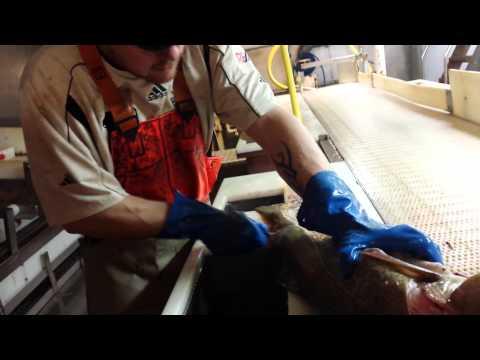 Icelandic fiserman at work slicing cod