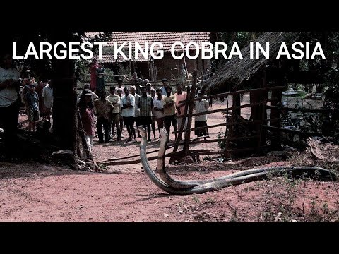 India's Largest King Cobra - Exclusive