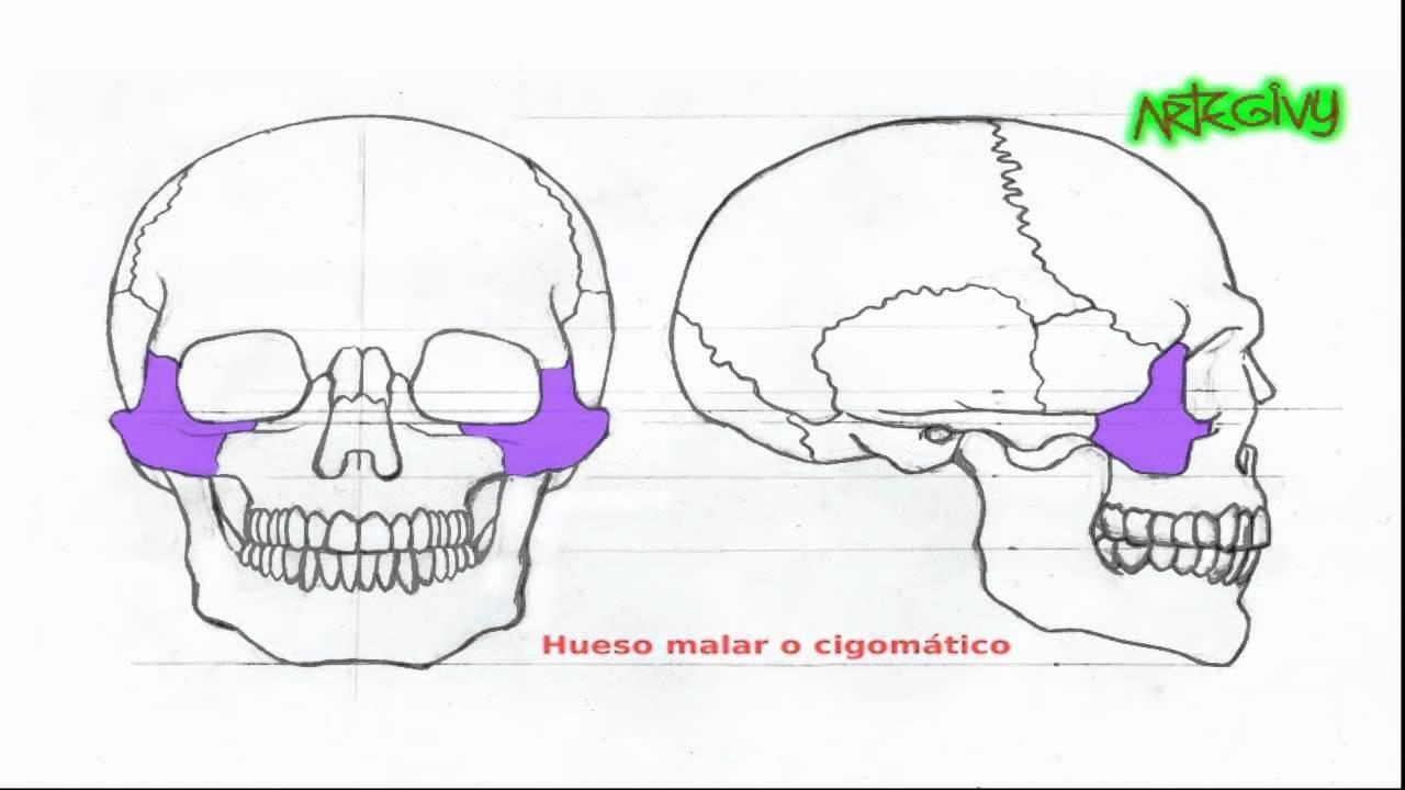 Anatomía para artistas: LA ESTRUCTURA ÓSEA DE LA CABEZA - YouTube