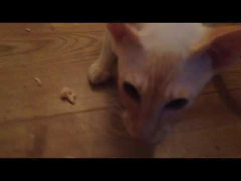 My Siamese cat growling over chicken