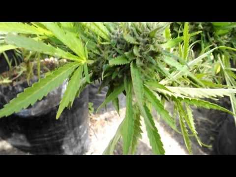 Medijuana   Hindu Kush Outdoor 2012  & 2013 Compare with & without Flower Initator and ESC Root Cond