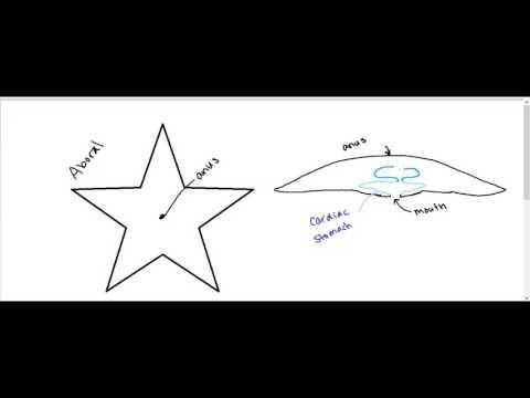 Starfish Digestive System