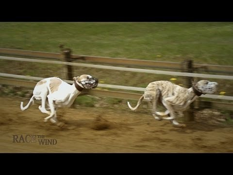RACE THE WIND 11 - Greyhound Track (Hamburg/Germany) • Galgo Levrier Lebrel Windhund Dog Chasse
