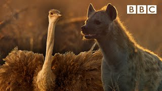 Zalika the Hyena FIGHTS an Ostrich | Serengeti - BBC