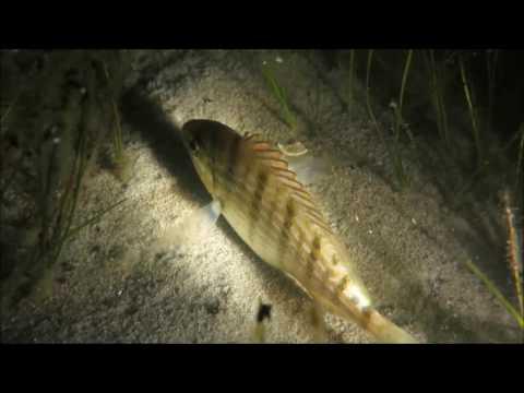 Night Dive-Pamlico Sound, NC.