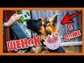 ЗАВЕЛИ ЩЕНКА | как дрессировать щенка | дрессировка собак | немецкая овчарка