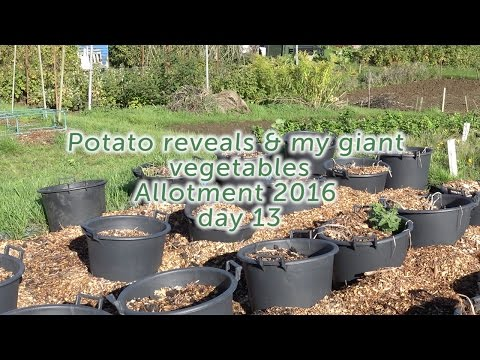 Potato reveals & my giant vegetables - Allotment 2016 - day 13