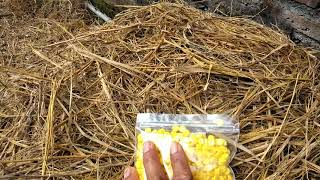 Pemberian suplemen pada ternak sapi (lesu&kurang nafsu makan)