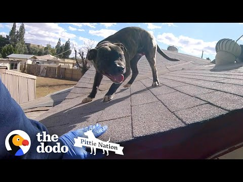 pittie-found-on-roof-is-so-happy-to-see-rescuers-|-the-dodo-pittie-nation