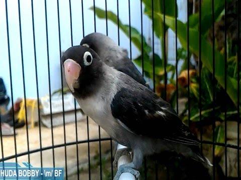 Download 54+  Gambar Burung Lovebird Jenis Batman HD Paling Bagus Gratis