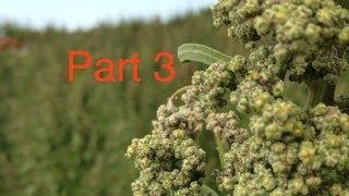 WSU Quinoa Breeding Program