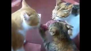 коты соображают на троих