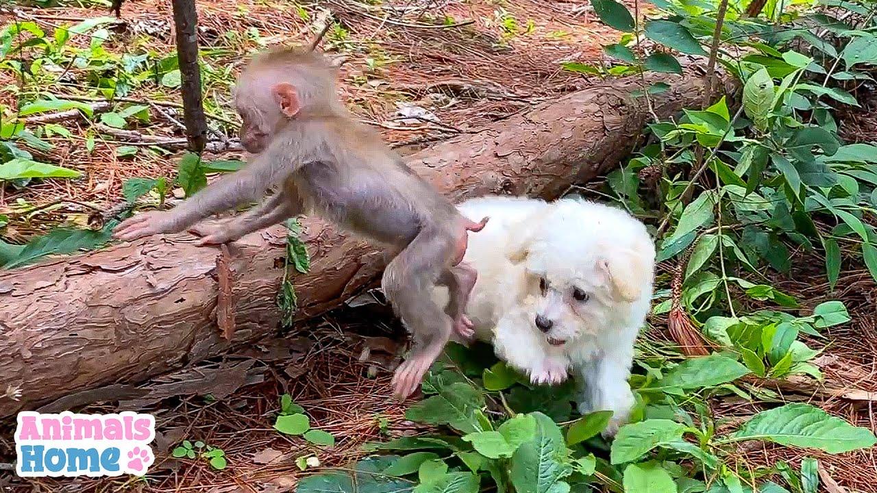Cute Monkey BiBi and Poodle Amee