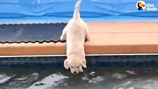 Golden Retriever Puppies Swim For The First Time