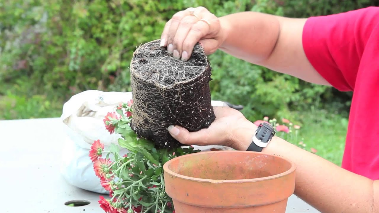 how to plant a potted mum gardening with mums - Garden Mum Indoor