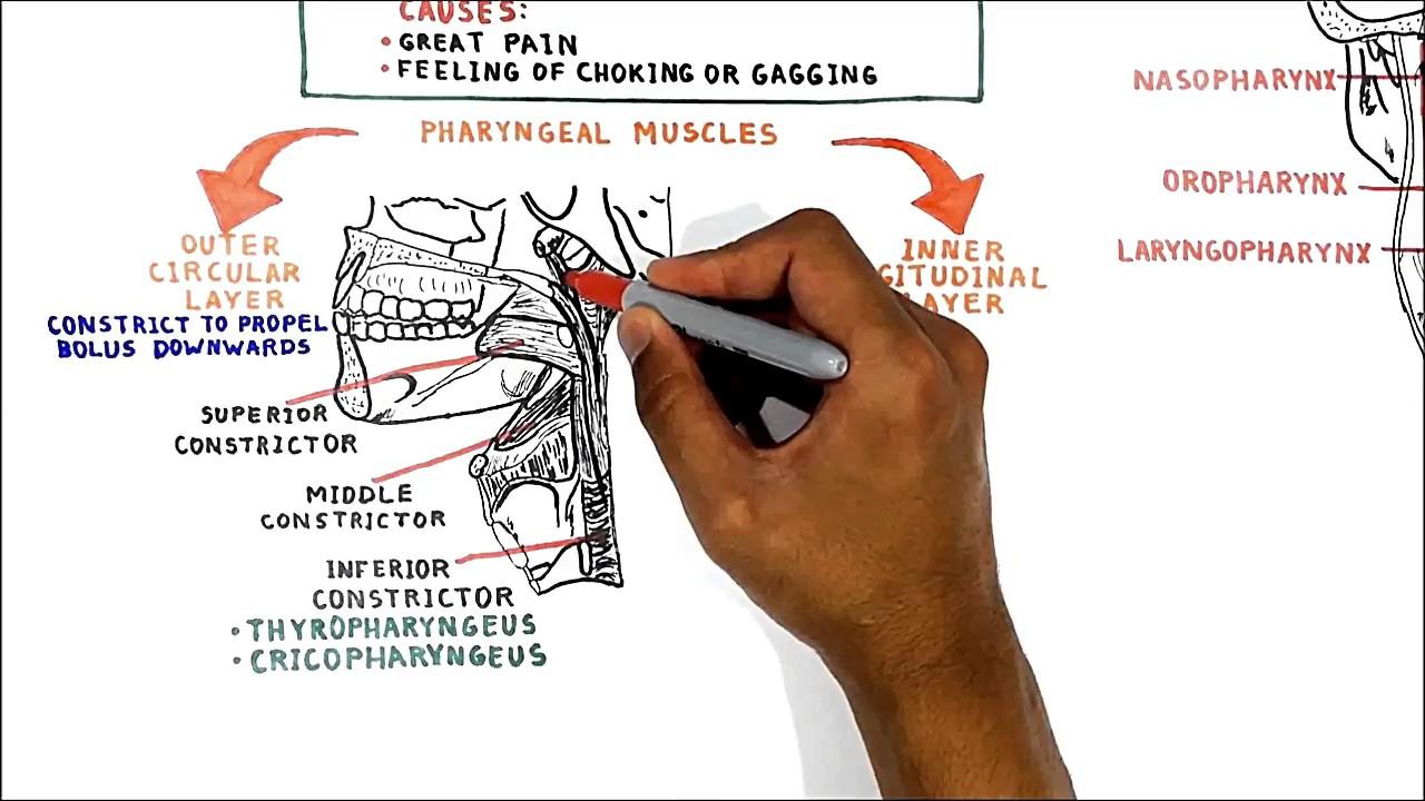 Pharyngeal muscles youtube pharyngeal muscles pooptronica