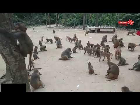 বানর এর রাজ্য ফুলবাড়িয়া সন্তোষপুর  Funny Monkey In Forest Videos   (Vumi...