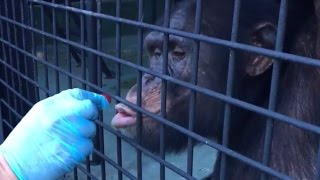 LIVE: Rescued Chimps Explore New Home | The Dodo LIVE thumbnail