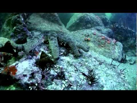 Pychnopodia - Sunflower Sea Star