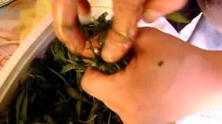 cannabis marihuana prensado casero. thumbnail