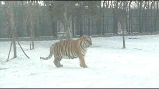 Overweight Siberian Tigers Become Online Sensation