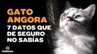 7 curiosidades del Gato Angora Turco