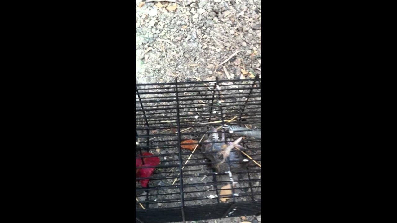 Ejemplo de efectividad de la jaula cepo para ratas y los - Cepos para ratas ...